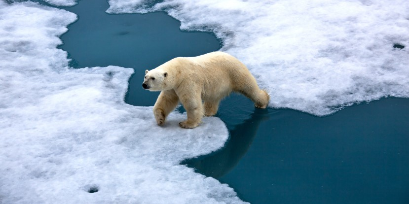 Polar bear walking on pack ice with water pond
